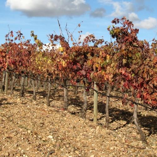 WineWalkGrapevines